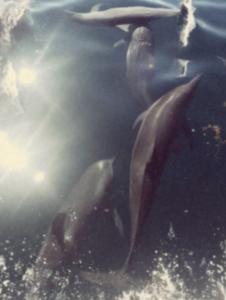 Dolphins in Fiji